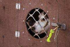 Beaux chiens enroués de l'Alaska attendant une course de chien de traîneau pour commencer Image stock