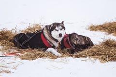 Beaux chiens enroués de l'Alaska se reposant pendant une course de chien de traîneau Images stock