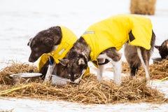 Beaux chiens enroués de l'Alaska se reposant pendant une course de chien de traîneau Photographie stock