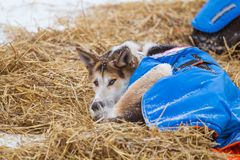 Beaux chiens enroués de l'Alaska se reposant pendant une course de chien de traîneau Photos stock