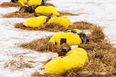 Beaux chiens enroués de l'Alaska se reposant pendant une course de chien de traîneau Photo libre de droits