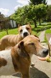 Beaux chiens heureux Photo stock