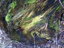 Beaux chiffres dans le tronçon d'un arbre en Finlande, ici en Scandinavie Photo stock