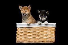 Beaux chiots d'inu de shiba dans le panier Photos libres de droits
