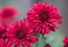 Beaux chrysanthèmes-NJ Photo stock