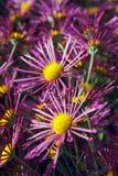 Beaux chrysanthèmes roses dans le jardin d'automne Photos libres de droits