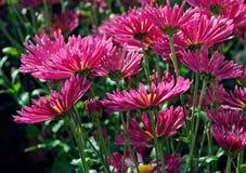 Beaux chrysanthèmes roses dans le jardin d'automne Photo stock