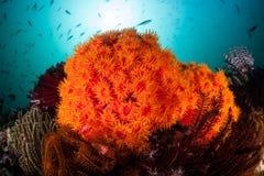 Beaux coraux de tasse sur le récif Photographie stock