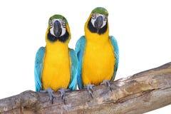 Beaux couples - bleus et aras jaunes d'isolement sur le blanc Photographie stock libre de droits