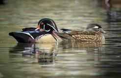 Beaux couples de canard en bois Photos libres de droits