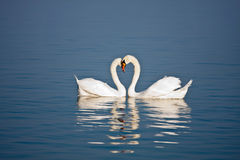 Beaux couples de cygne Photos stock