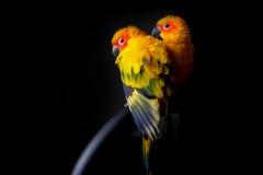 Beaux couples de Sun Conure à l'arrière-plan noir Photos libres de droits