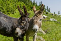Beaux couples des ânes en montagnes de Carpathiens Photos libres de droits