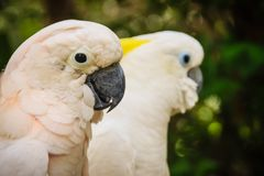 Beaux couples des cacatoès Baisers blancs de cacatoès de couples mignons Image stock