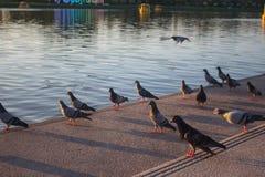 Beaux couples des pigeons se reposant sur a sur une route images libres de droits