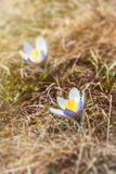 Beaux crocus de montagne Photos stock