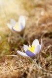 Beaux crocus de montagne Photo stock