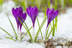 Beaux crocus violets Photo stock