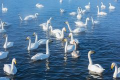 Beaux cygnes blancs de huée Photographie stock libre de droits