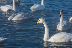 Beaux cygnes blancs de huée Photo libre de droits