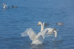 Beaux cygnes blancs de huée Images libres de droits