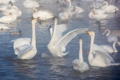 Beaux cygnes blancs de huée Photo stock