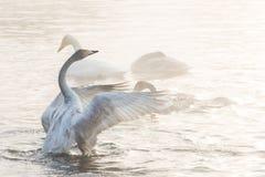 Beaux cygnes blancs de huée photos stock