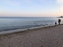 Beaux cygnes blancs sur le bord de la mer sur le fond de coucher du soleil photos stock