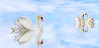 Beaux cygnes blancs sur un lac tranquille avec la réflexion photos libres de droits