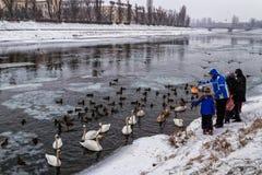 Beaux cygnes et canards sauvages sur la rivière Photos libres de droits
