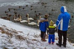 Beaux cygnes et canards sauvages sur la rivière Photographie stock