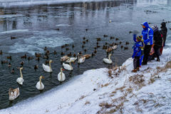 Beaux cygnes et canards sauvages sur la rivière Image libre de droits
