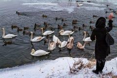 Beaux cygnes et canards sauvages sur la rivière Photo libre de droits