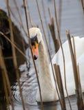 Beaux cygnes nageant dans l'étang Image libre de droits