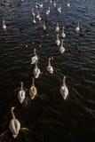 Beaux cygnes nageant dans l'étang Images libres de droits
