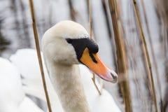 Beaux cygnes nageant dans l'étang Photographie stock libre de droits
