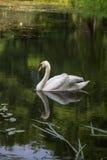 Beaux cygnes nageant dans l'étang Photos libres de droits