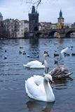 Beaux cygnes sur la rivière de Vltava à Prague, République Tchèque photo libre de droits