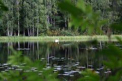 Beaux cygnes sur le lac finlandais avec le fond vert de forêt Image libre de droits
