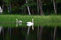 Beaux cygnes sur le lac finlandais avec le fond vert de forêt Photos libres de droits