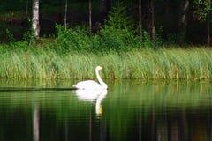 Beaux cygnes sur le lac finlandais avec le fond vert de forêt Images libres de droits