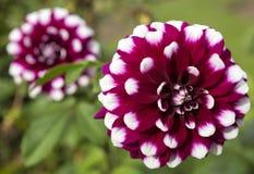 Beaux dahlias rouge-foncé dans le jardin image stock