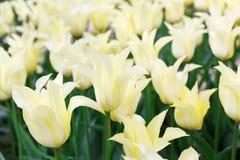 Beaux deux parterre ont coloré, rouges et blancs de tulipes Photos libres de droits
