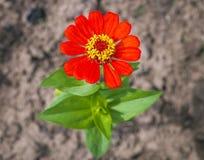 Beaux elegans de zinnia - plan rapproché de fleur Photographie stock libre de droits
