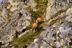 Beaux environs Swinica et chèvres de montagne sauvages Photographie stock