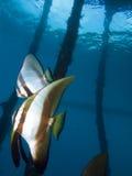 Beaux espadons de longfin sous la jetée en Raja Ampat, Indonésie Images stock