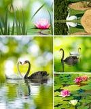 Beaux fleurs et cygnes de lotus Image libre de droits