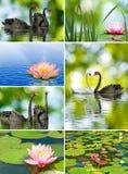 Beaux fleurs et cygnes de lotus Images stock