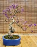 Beaux fruits des bonsaïs japonais L'âge d'environ 30 ans Images libres de droits