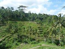 Beaux gisements de riz de Tegalalang, Bali, Indonésie Images libres de droits